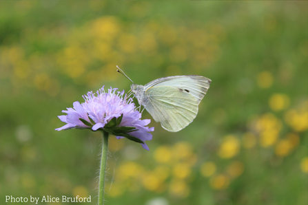 Alice Bruford's photograph of green-veined white scabious