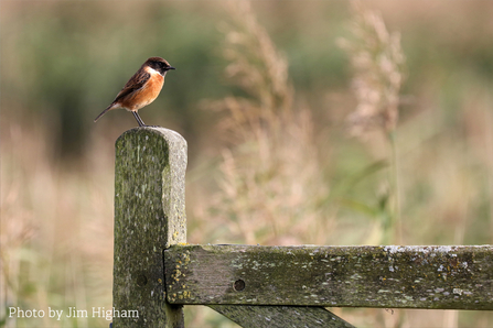Jim Higham's photograph of a stonechat at Elmley Marshes