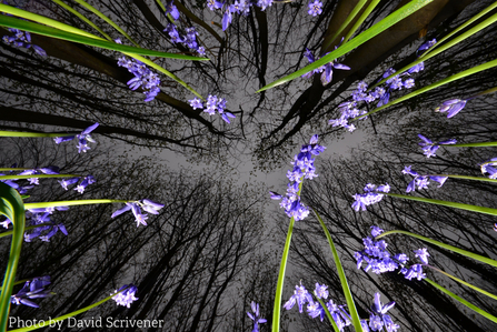 David Scrivener's photograph of bluebells at Coxheath