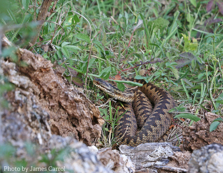 James Carrol's photograph of a female adder at Queendown Warren