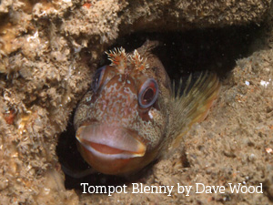 Tompot Blenny by Dave Wood