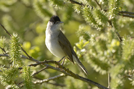 Blackcap, photo by Clive Nichols