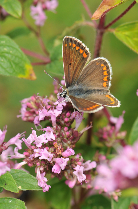 Brown Argus, photo by Grant Hazlehurst