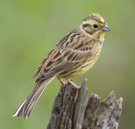 Yellowhammer, photo by Tom Marshall