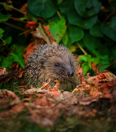 Hedgehog in leaves, photo by Jon Hawkins