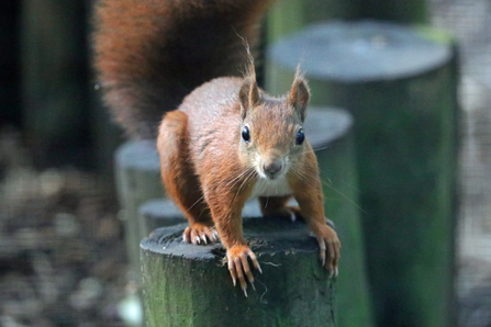 Red squirrel © Wildwood Trust