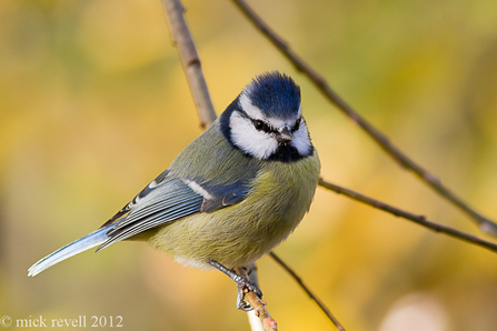 Blue tit - Photo by Mick revell