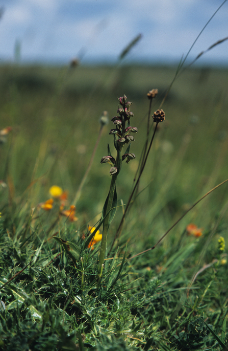 Frog Orchid