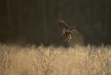 Marsh harrier (c) Andrew Parkinson/2020Vision