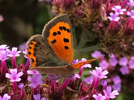 Small copper butterfly on verbena bonariensis