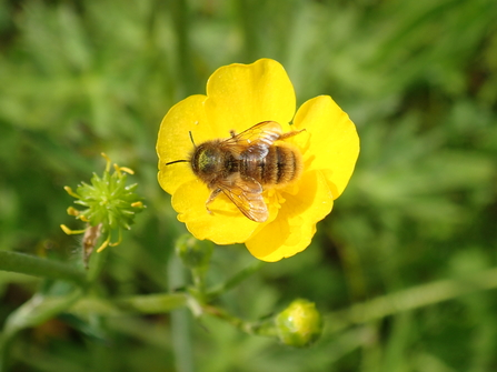 Female red mason bees only have a short journey from their home to enjoy the buttercups of our wilder lawn – P Brook