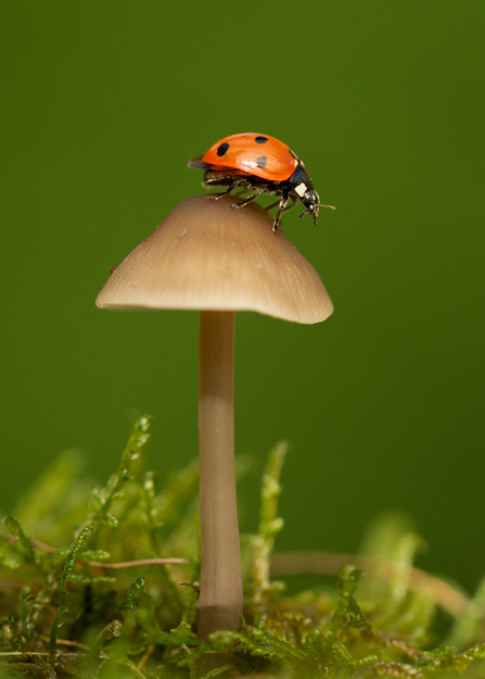 7 spot ladybird on toadstool, Coccinella 7-punctata, adult, Sheffield - Paul Hobson