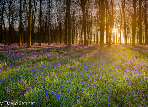 David Jenner's image of bluebells at sunset