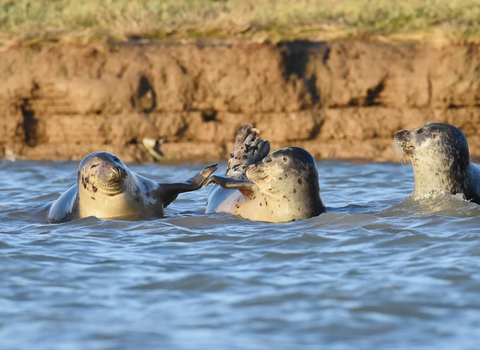 Common seals, photo by Russel Miles
