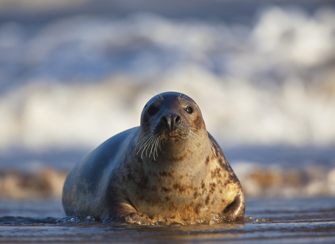 Grey seal, photo by Neil Aldridge