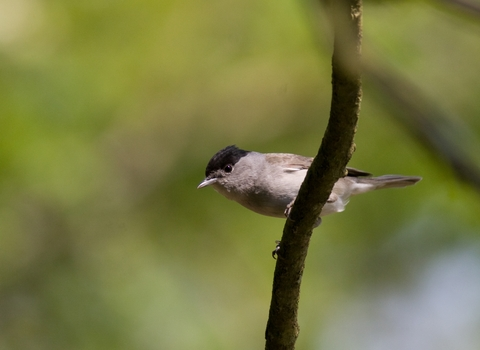 Blackcap, photo by Dave Kilbey