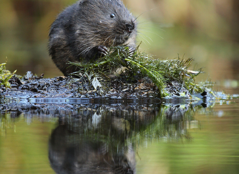Water vole, photo by Jamie Hall