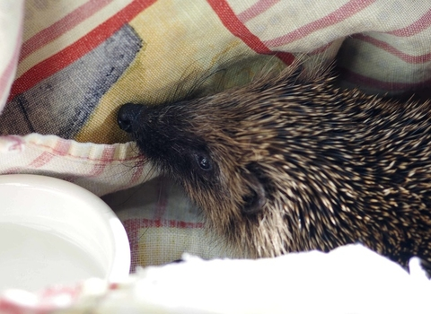 Rescued hedgehog, photo by Gillian Day