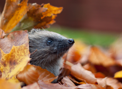 Hedgehog in leaves, photo by Tom Marshall