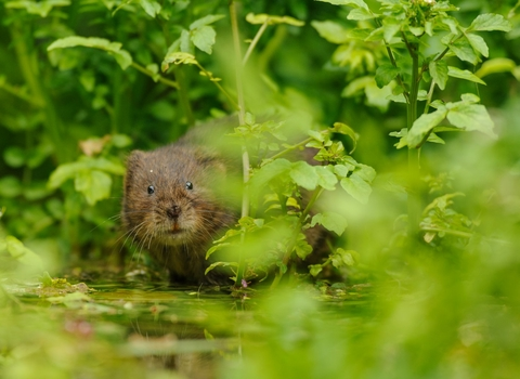 Water Vole (Arvicola amphibius), Kent, UK - Terry Whittaker/2020VISION